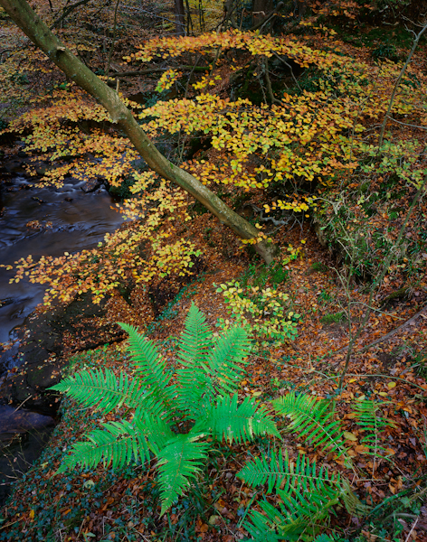 Autumn Woodland, Littlebeck, North Yorkshire